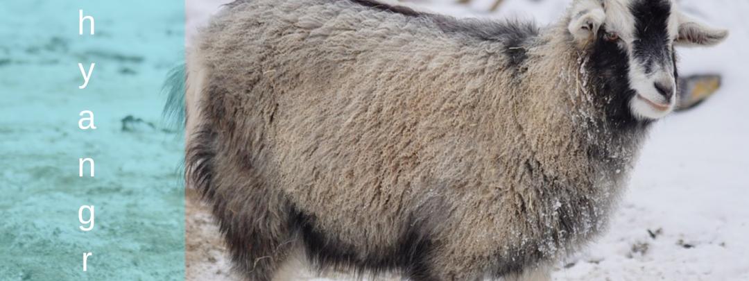 Himalayan Goat Chyangra from Nepal